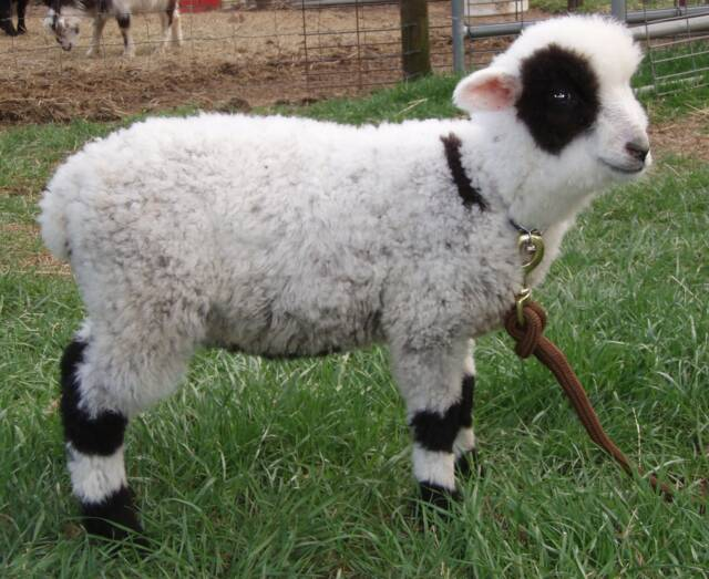 streaked_sheep